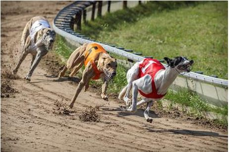 A day at the scottish greyhound derby races